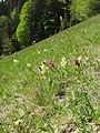 Dactylorhiza sambucina 29.jpg
