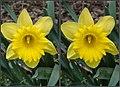 Daffodil (41897942832).jpg
