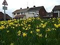 Daffodils, Hospital Road, Omagh - geograph.org.uk - 1201791.jpg