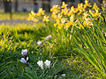 Daffodils and crocus flowers (13045758514).jpg