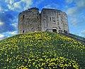 Daffodils around Clifford's Tower York - geograph.org.uk - 2314136.jpg