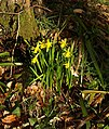 Daffodils by the Teign - geograph.org.uk - 1772796.jpg