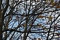 Dail Olaf yr Hydref Pentrefelin The Last Autumn Leaves - geograph.org.uk - 609553.jpg