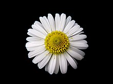 Daisy Gänseblümchen Bellis perennis 01.jpg