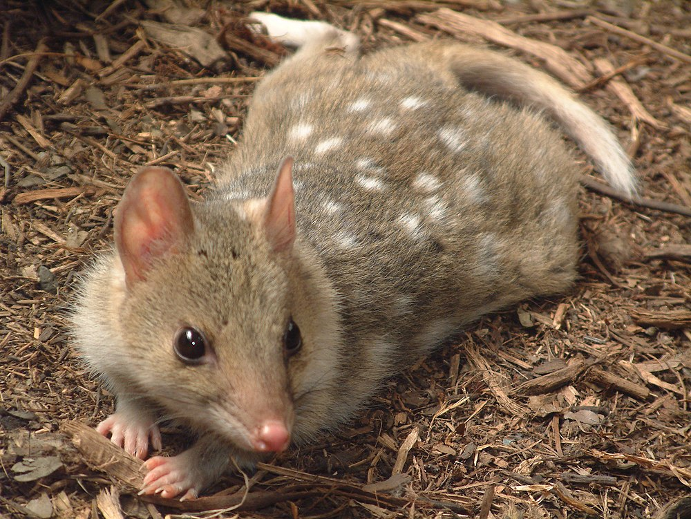 The average litter size of a Eastern quoll is 5
