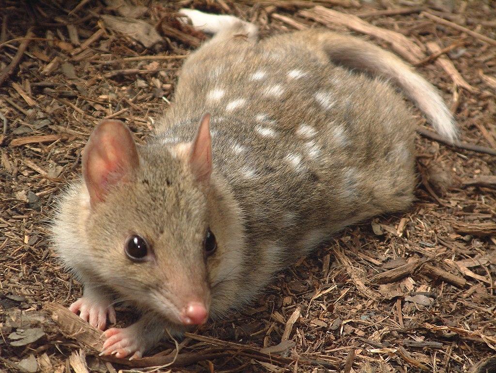 The Super-cute Eastern Quoll Returns to Mainland Australia 1024px-Dasyurus_viverrinus