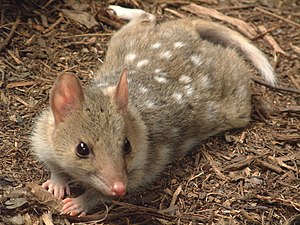 Waitoreke - The pelt reputedly obtained by von Haast is described as patterned similar to this eastern quoll's.