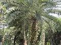 Date tree6.JPG