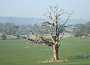 Dead oak tree, Kelston Park Plenty of life her...