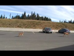 File:Deer and fawn, Hurricane Ridge Visitor Center.ogv