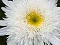 Delicate white flower (14425395962).jpg