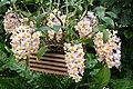 Dendrobium farmeri - Kroton 002.JPG