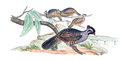 Dendrortyx macrourus - 1700-1880 - Print - Iconographia Zoologica - Special Collections University of Amsterdam - UBA01 IZ17100207.png