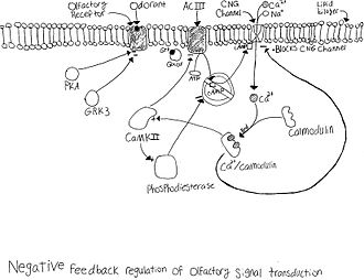 Olfactory receptor neuron - Desensitization of olfactory neuron
