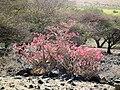 Desert rose Adenium obesum in Tanzania 2260 Nevit.jpg