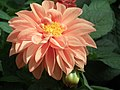 Dhalia from Lalbagh flower show Aug 2013 7923.JPG