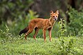 Dhole(Asiatic wild dog).jpg
