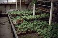 Dicksons Florist geranium beds 01.jpg