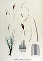 Dicranum heteromallum — Flora Batava — Volume v15.jpg