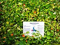 Die Kapuzinerkresse, Große Kapuzinerkresse, lat. Tropaeolum majus, Pflanze.jpg
