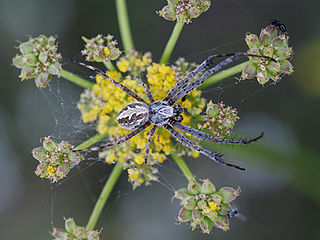 Coneweb spider Family of spiders