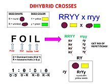 Dihybrid cross - Wikipedia
