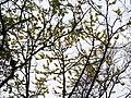 Dillenia pentagyna flowering by Dr. Raju Kasambe DSCN1362 (15).jpg
