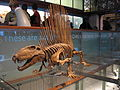 Dimetrodon 28-12-2007 14-41-47.jpg