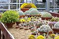 Dionysia collection at Gothenburg Botanical Garden 2015 004.JPG