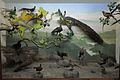Diorama - Birds of South-east Asia and China - Zoological Gallery - Indian Museum - Kolkata 2014-04-04 4374.JPG