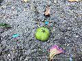 Diospyros kaki (fruit) 1 2017-06-08.jpg