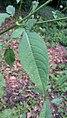 Dipsacus pilosus leaf (06).jpg
