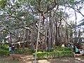 Dodda Alada Mara banyan 5.jpg
