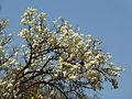 Dombeya rotundifolia, bloeityd, Moreletakloof NR, b.jpg