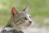 Domestic cat felis catus stare.jpg