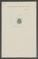 Doryphora - Print - Iconographia Zoologica - Special Collections University of Amsterdam - UBAINV0274 036 04 0114.tif