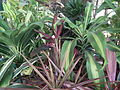 Dracaena broad leaved from lalbagh 2209.JPG