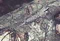 Draco sp. (13074840953).jpg