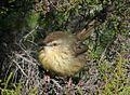 Drakensberg Prinia (Prinia hypoxantha).jpg