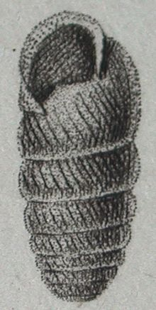Cylindrus obtusus - Wikipedia