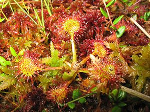 Amrum - Common sundew