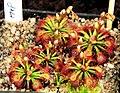 Drosera felix Exhibition of Carnivorous Plants Prague 2016 1.jpg