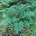 Dryopteris goldiana CR-1249a.jpg