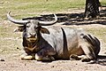 Dubbo Zoo Water Buffalo-1and (3998325287).jpg