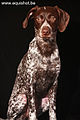 Duitse staande korthaar German shorthaired Pointer.jpg