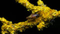 Dung Fly and Lichen.png