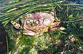 Dungeness Crab - Flickr - brewbooks.jpg
