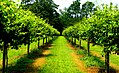 Duplin vineyard of Scuppernog grapevines.jpg