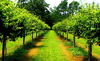 Scuppernong - Scuppernong grape vines at Duplin Winery in Rose Hill, North Carolina