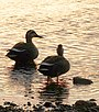 Eastern Spot-billed ducks in the Tama river.JPG